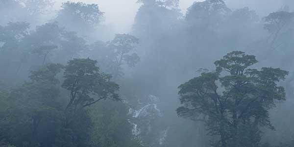 Forêt chilienne region des lac où l'on trouve le maqui